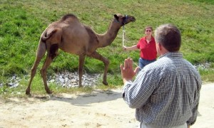 Dr. Mason working with a camel!