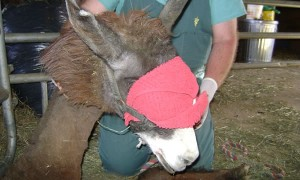 Blindfolding the llama allows the anesthetics to work.